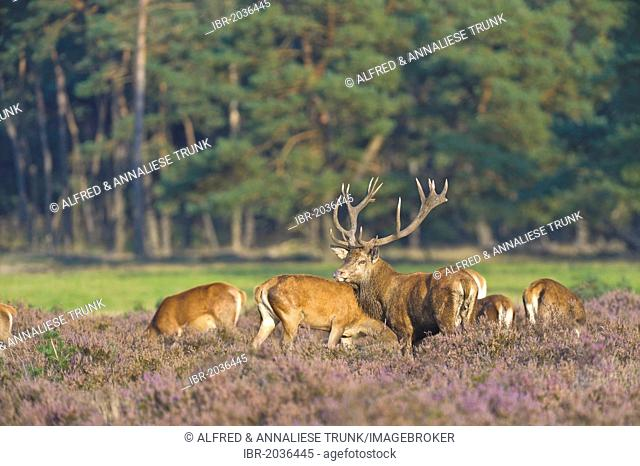 Red Deer (Cervus elaphus), stag and hinds, Netherlands, Europe