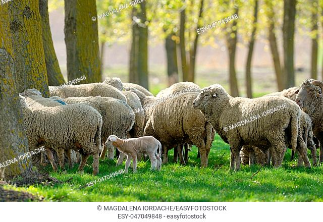 Sheep Goats Graze Green Grass Spring