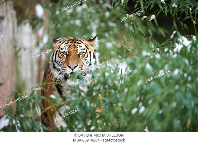 Siberian tigers, Panthera tigris altaica, winter, head-on, looking into camera