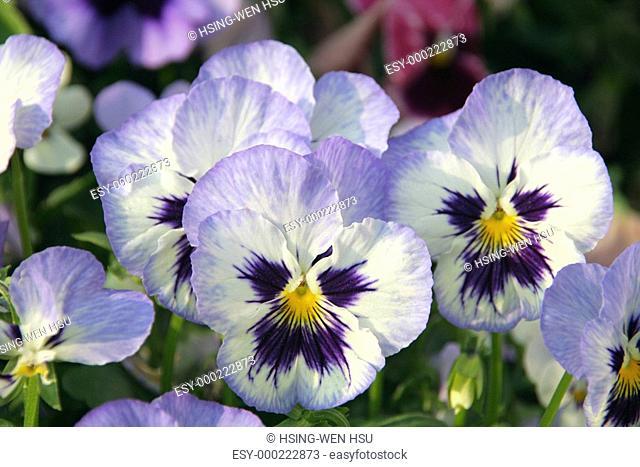 Pansies in a spring garden