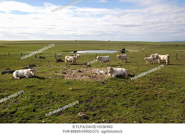 Charolais cows with newly born calf which does not yet have its ear tags- Extremadura, Spain