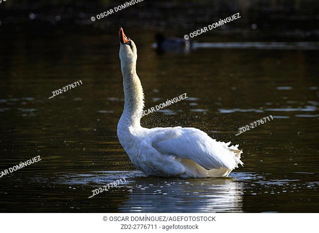 Mute Swan (Cygnus olor) shaking feathers. Lower Silesia. Poland