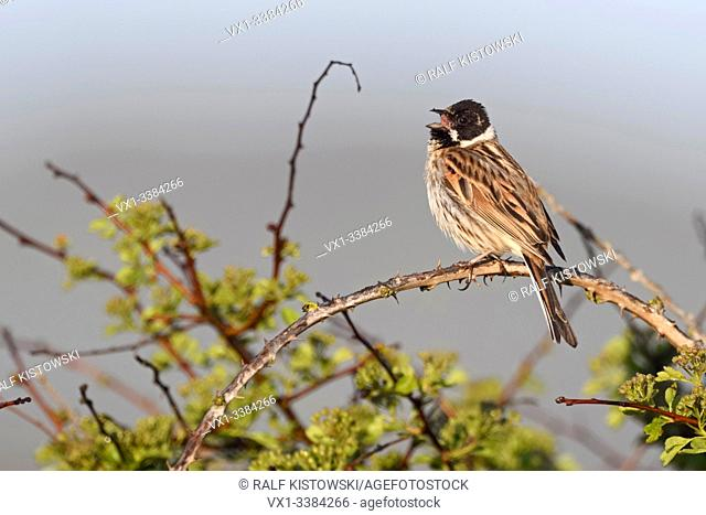 Reed Bunting (Emberiza schoeniclus), adult male, perched on top of a bush, early in the morning, singing, wildlife, Europe