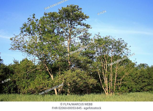 Common Alder Alnus glutinosa habit, growing at edge of carr wet woodland habitat in valley fen reserve, Roydon Fen, Roydon, Upper Waveney Valley, Norfolk