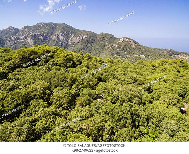 bosque de Son Ferra y mola de Planícia 932 m. , Quercus ilex, Esporles,sierra de Tramuntana, Majorca, Balearic Islands, Spain
