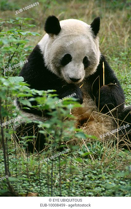 Giant Panda sitting on the ground eating bamboo at Chengdu Zoo