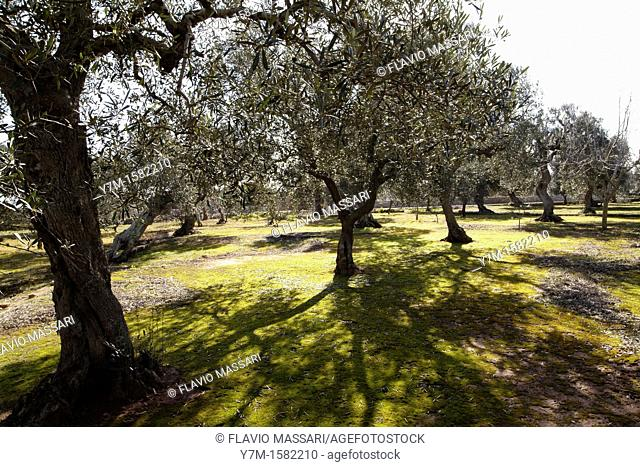 olive trees in south apulia, Italy