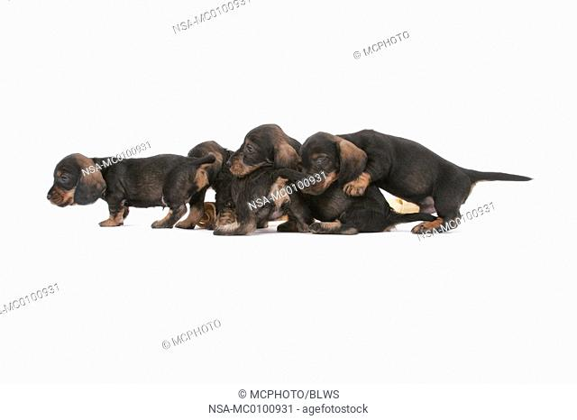 Canis lupus f  familiaris, sausage dog, domestic dog