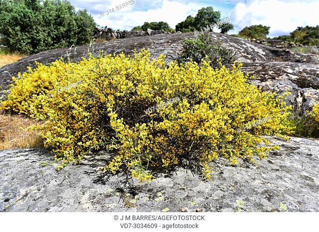 Genista hystrix is a shrub endemic to northwestern Iberian Peninsula. This photo was taken in Arribes del Duero Natural Park, Zamora province, Castilla-Leon