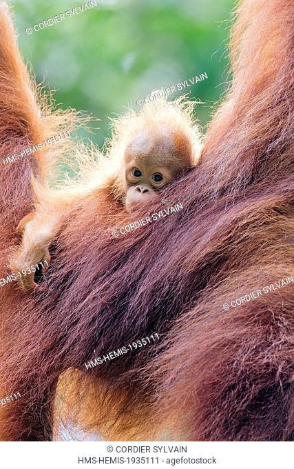 Malaysia, Sarawak state, Kuching, Semenggoh Wildlife Rehabilitation Center, Bornean orangutan (Pongo pygmaeus pygmaeus), adult female with baby