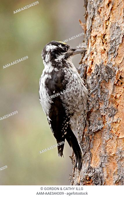 Three-toed Woodpecker (Picoides tridactylus) on a beetle-killed pine, East Inlet Trail, Rocky Mountain National Park, CO