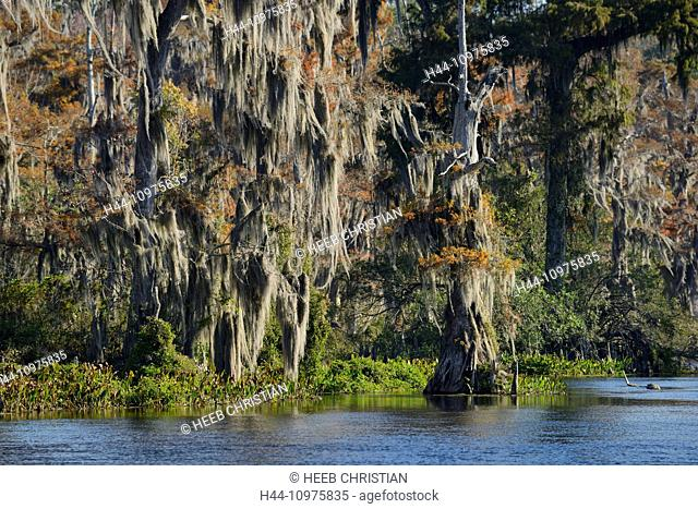 USA, Florida, Wakulla County, Wakulla Springs, State Park, cypress trees along the spring