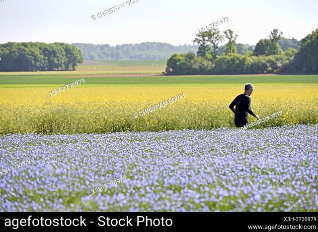 Champ de lin en fleur, Departement d'Eure-et-Loir, Region Centre-Val-de-Loire, France, Europe/Flax field in bloom, Eure-et-Loir department