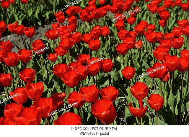 Blooming tulip field in the area of Bollenstreek, Noordwijkerhout, Netherlands
