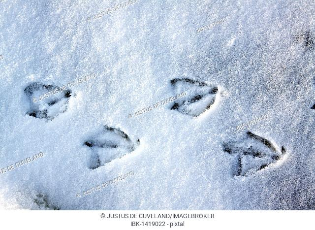 Tracks of a mallard duck (Anas platyrhynchos) in snow in winter