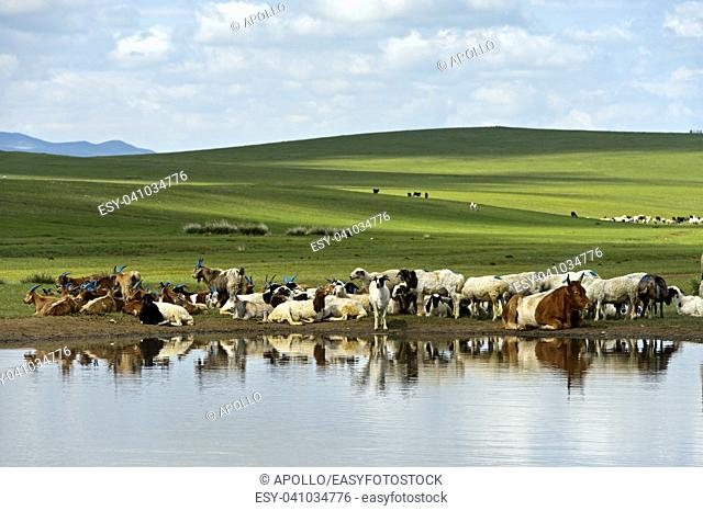 Cattle and sheep at a water hole in the Mongolian steppe near Ulaanshiveet, Bulgan Province, Mongolia