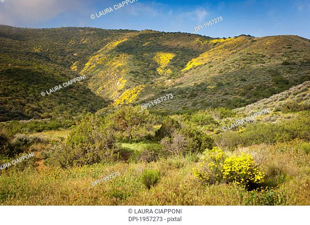Yellow Wildflowers In The Hills On Carrizo Plain National Monument, California United States Of America