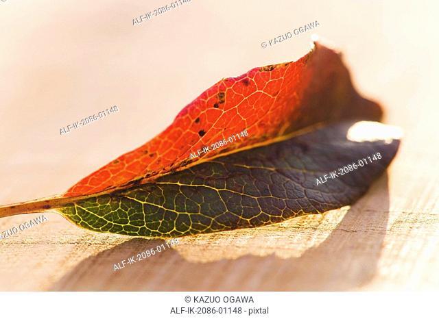 Fallen Leaf of Camellia