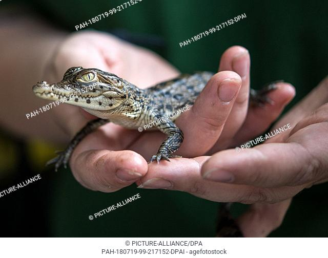 19 July 2018, Hoyerswerda, Germany: A young Cuba crocodile (Crocodylus rhombifer) is sitting on the hands of a zoo keeper at the press conference of Zoo...