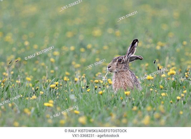 European Hare / Brown Hare / Feldhase ( Lepus europaeus ) sitting in a vernal flowering meadow, feeding on dandelion, looks cute and funny, wildlife, Europe