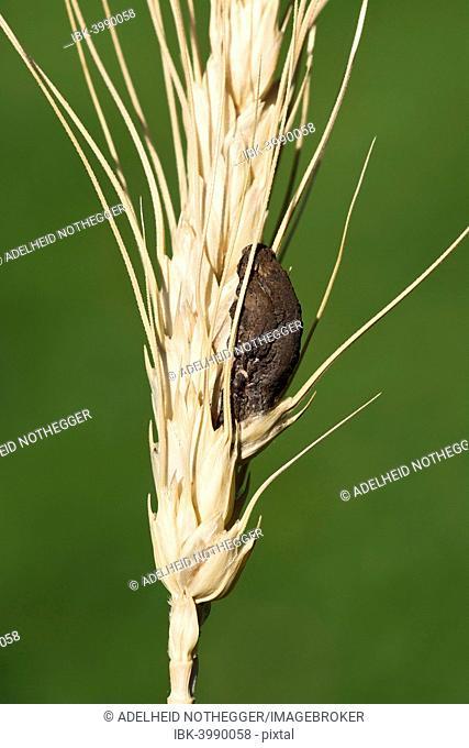 Ergot (Claviceps purpurea), Burgenland, Austria