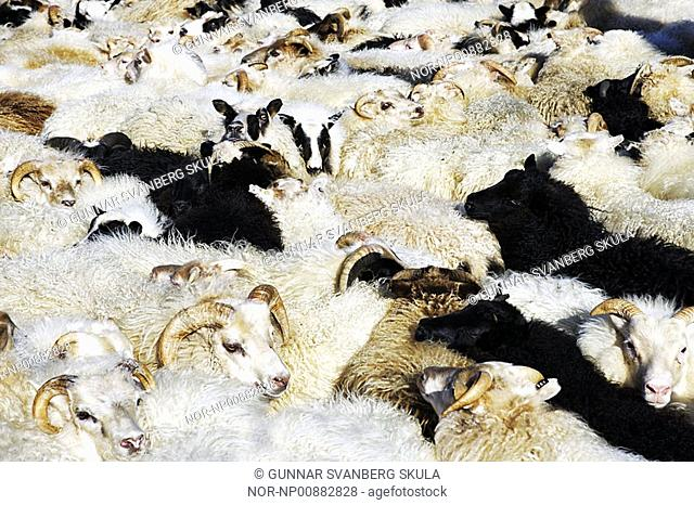 Sheep in a sheeppen in Iceland