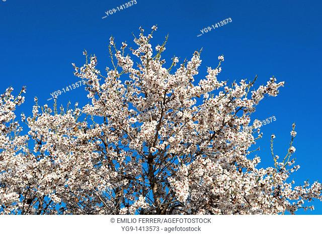 Almond trees with flowers in spring