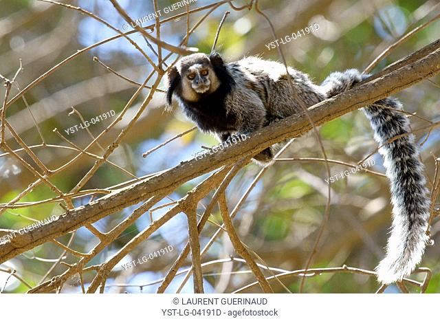 Monkey, Sagui, Chapada Diamantina, Bahia, Brazil