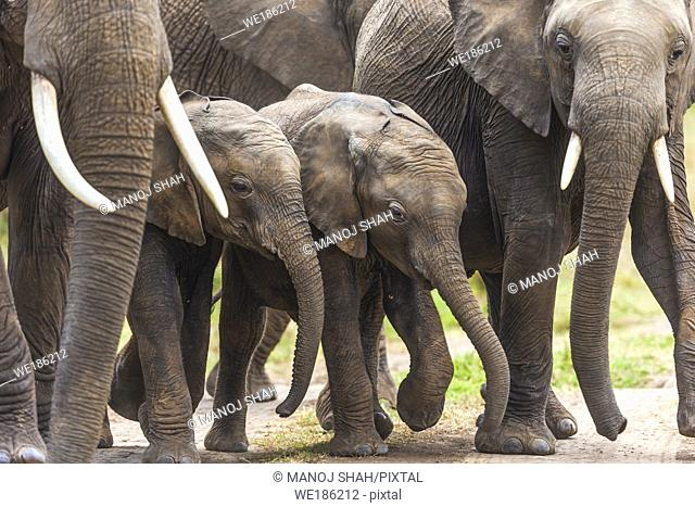 Elephant babies walking with the adults. For added protection, the adults surround the babies. Masai Mara National Reserve, Kenya