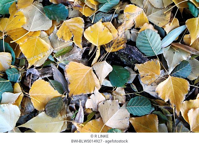 white poplar, silver-leaved poplar, abele Populus alba, autumn leaves