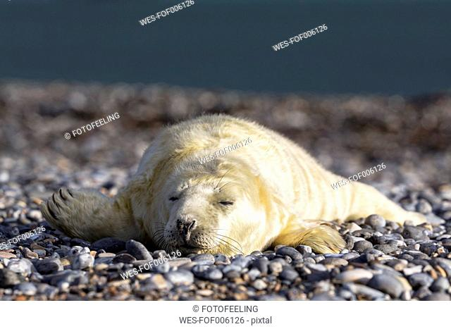 Germany, Helgoland, Duene Island, Grey seal pup (Halichoerus grypus) sleeping at shingle beach