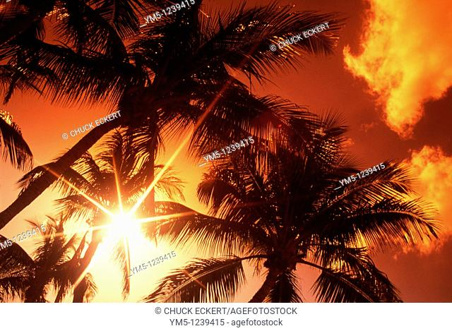 Group of tropical Palm Trees Silhouetted