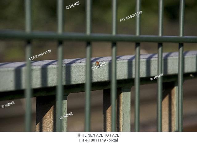 Lady beetle on a fence