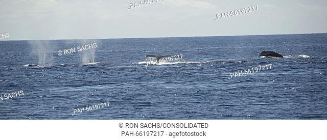 Four Humpback Whales off the coast of Lahaina, Maui, Hawaii on Thursday, February 25, 2016. Adult Humpback males range between 40 and 52 feet and weigh up to 45...