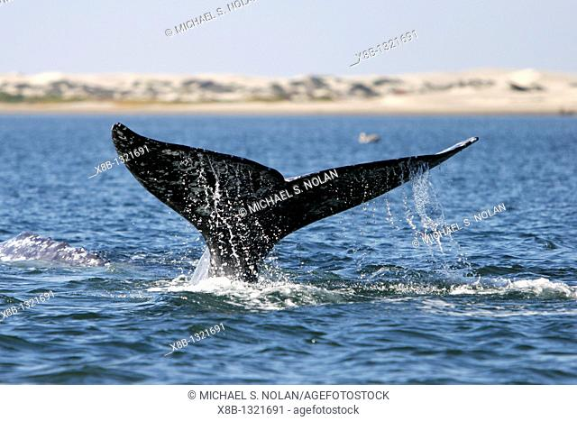 Adult California Gray Whale Eschrichtius robustus fluke-up dive in Bahia Magdalena on the Pacific side of the Baja Penninsula  Pacific Ocean