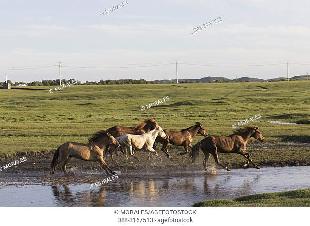 China, Inner Mongolia, Hebei Province, Zhangjiakou, Bashang Grassland, horses, a group in the water