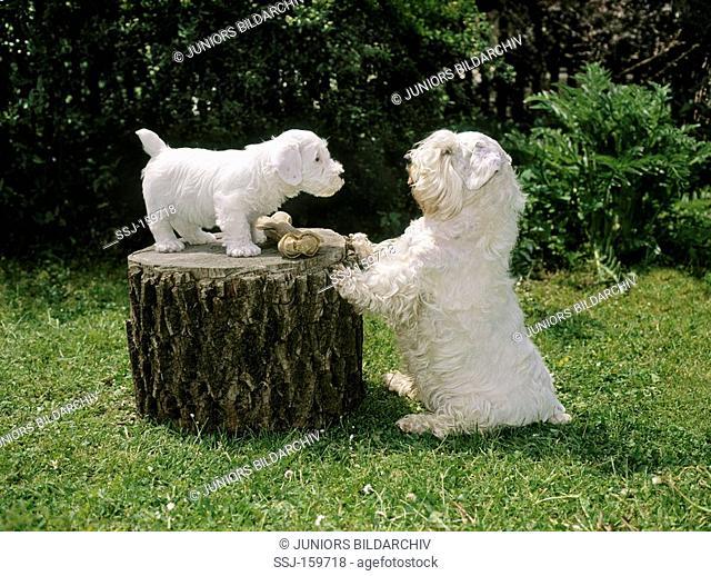 Sealyham Terrier dog and puppy