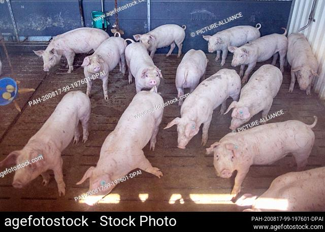 13 August 2020, Mecklenburg-Western Pomerania, Groß Grenz: Pigs stand in the barn on the GGAB farm and can be seen through a glass pane
