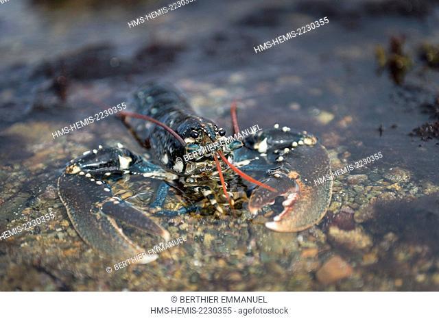 France, Cotes d'Armor, Pleubian, lobster on the Sillon of Talbert