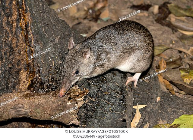 Long-nosed potaroo, Potorous tridactylus a small rodent like marsupial. Potaroos are sometimes known as Rat-kangaroos. They forage at night for fungi on the...