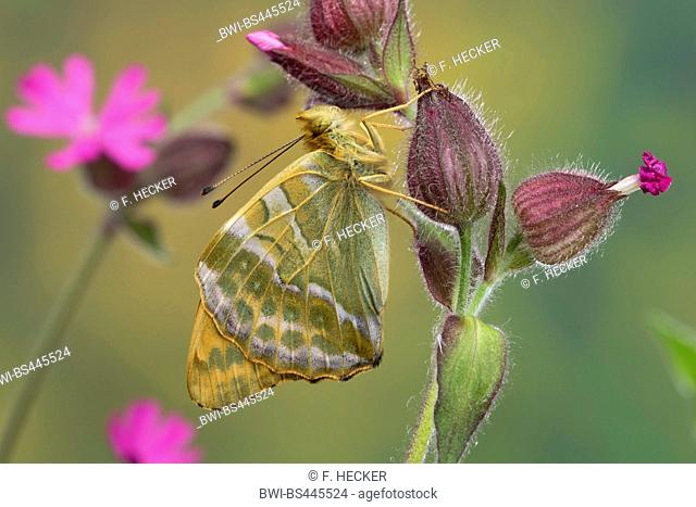 silver-washed fritillary (Argynnis paphia), male at red catchfly, side view, Germany