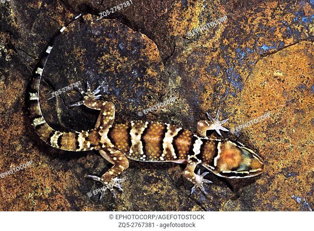 Hemidactylus Triedrus. Termite Hill gecko. Saswad, Maharashtra, India