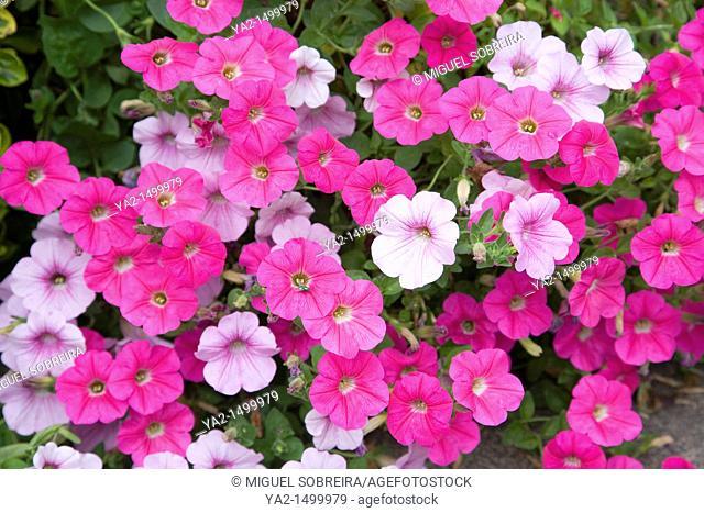 Potted petunias in garden