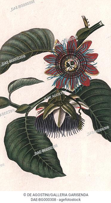 Giant granadilla or Barbadine (Passiflora quadrangularis), colour copper engraving, retouched in watercolour, 9x15 cm, from Dizionario delle scienze naturali...