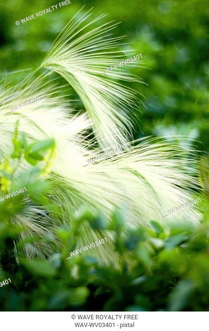 Foxtail barley in yellow clover, organic garden, Manitoba, Canada
