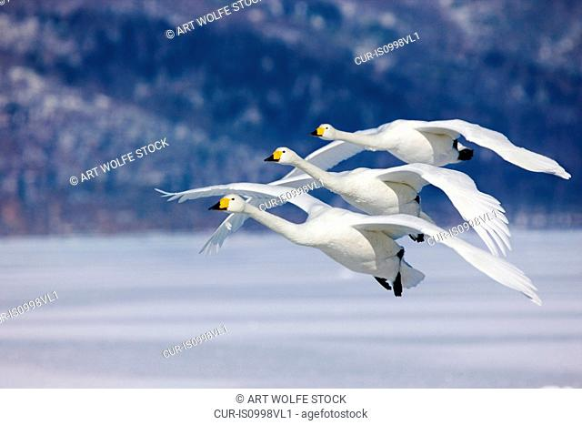 Three Whooper Swans fly in unison, Hokkaido Island, Japan