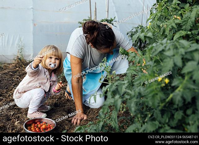 Little girl with her mother growing cherry tomatoes in a garden. agriculture concept