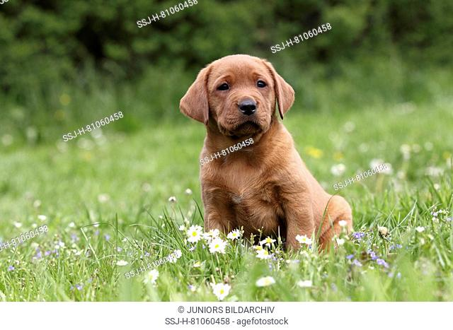 Labrador Retriever. Puppy (6 weeks old) sitting on a meadow. Germany