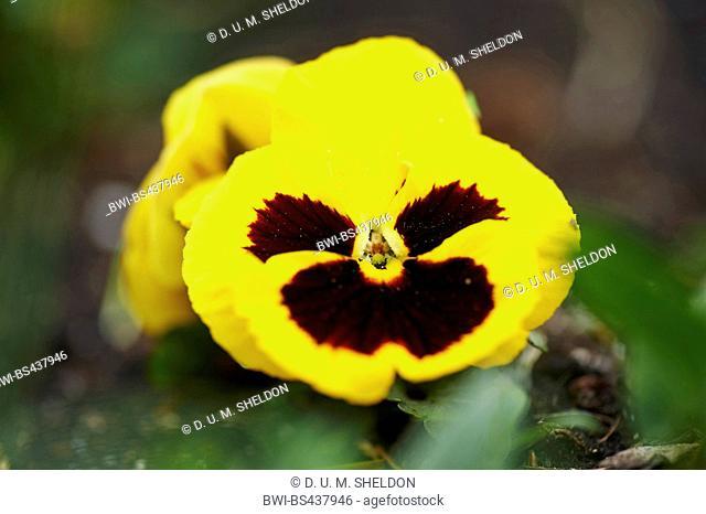 Pansy, Pansy Violet (Viola x wittrockiana, Viola wittrockiana, Viola hybrida), flower