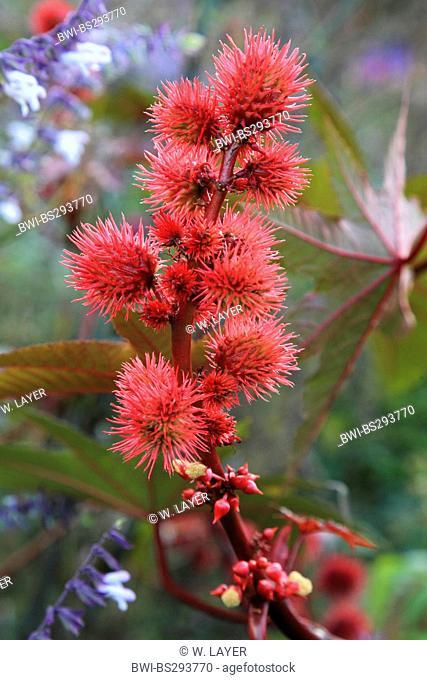 castor-oil plant, castor oil plant, ricin, Castor bean, Castorbean (Ricinus communis), fruiting